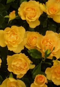 Roses, Chelsea Flower Show