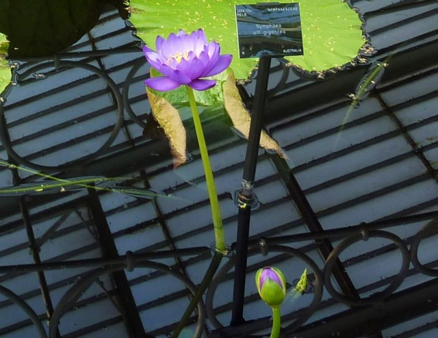 Reflection of ceiling of Waterlily House in the lily pond.