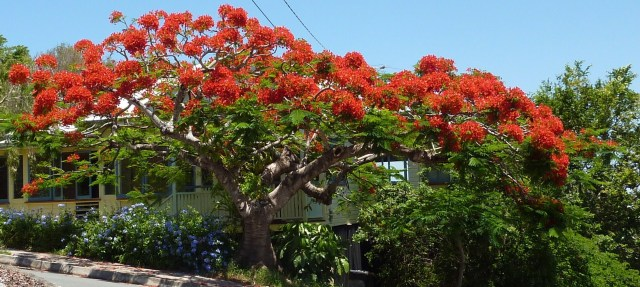 Poinciana Regia - showing the spread
