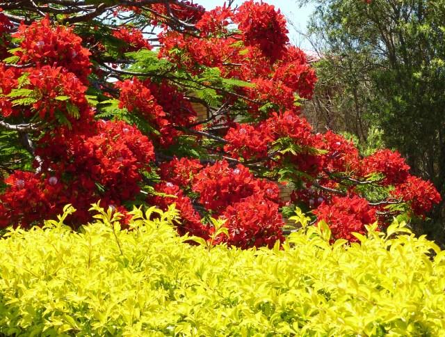 The tree has few leaves when in bloom.