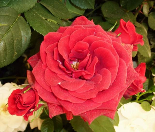 Rose at Chelsea Flower Show